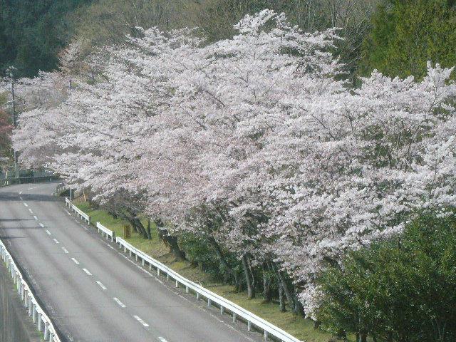 プラザ掛洞桜.JPG