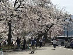 荘川桜公園